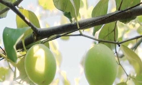 30 tấn táo Ninh Thuận vào mùa thu hái