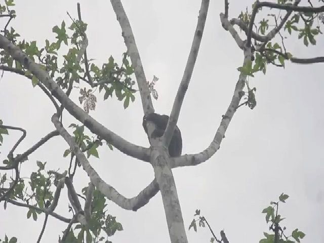 Lười bị đốn ngã khỏi cây để bán cho khách chụp ảnh selfie