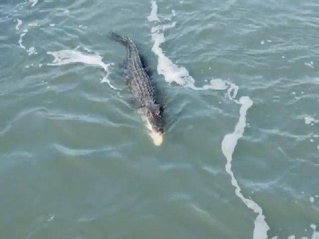 Những cuộc tử chiến hiếm gặp giữa cá sấu và cá mập