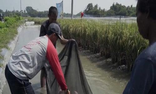 Thu nhập gấp 3 nhờ trồng lúa, nuôi cá trong cùng thửa ruộng