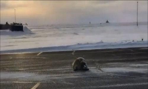 Hải cẩu hơn 200 kg nằm tắm nắng giữa đường băng