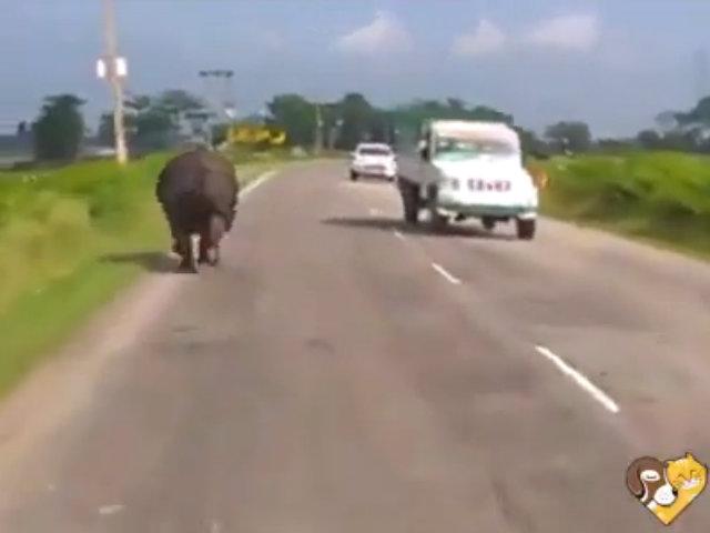 Ôtô chạy tán loạn vì bị tê giác truy đuổi giữa đường