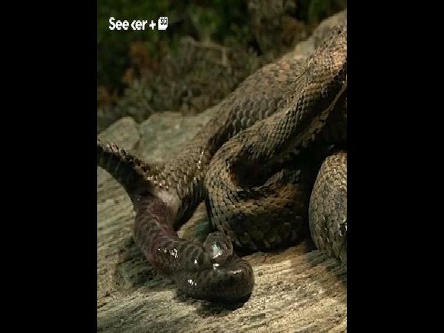 Lý do một số loài rắn đẻ con thay vì đẻ trứng