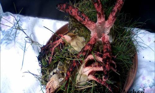 Nấm Ngón tay quỷ có mùi giống thịt cua thối
