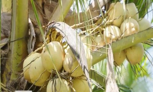 Nông dân thu lời nhờ giống dừa sáp cao giá gấp 10 lần