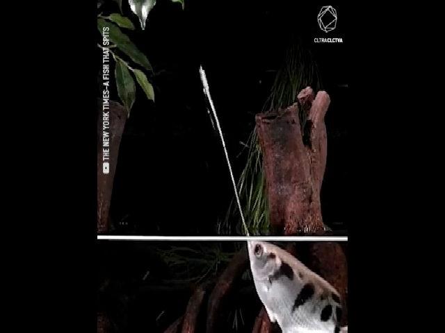 Loài cá dùng tuyệt chiêu 'bắn nước' để săn mồi cách xa 2 m