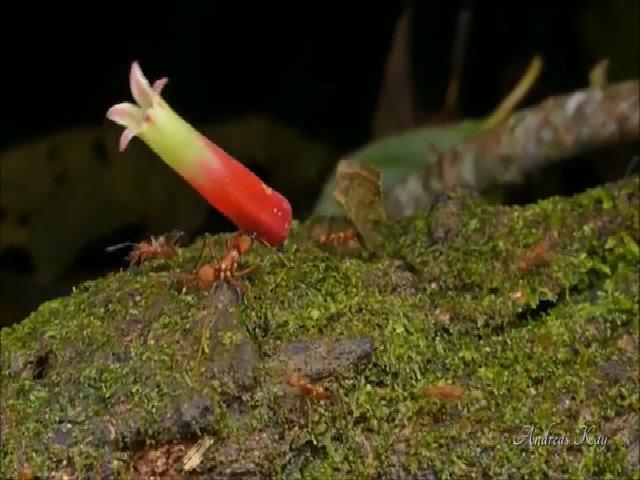 Kiến vác bổng hoa lớn gấp nhiều lần cơ thể