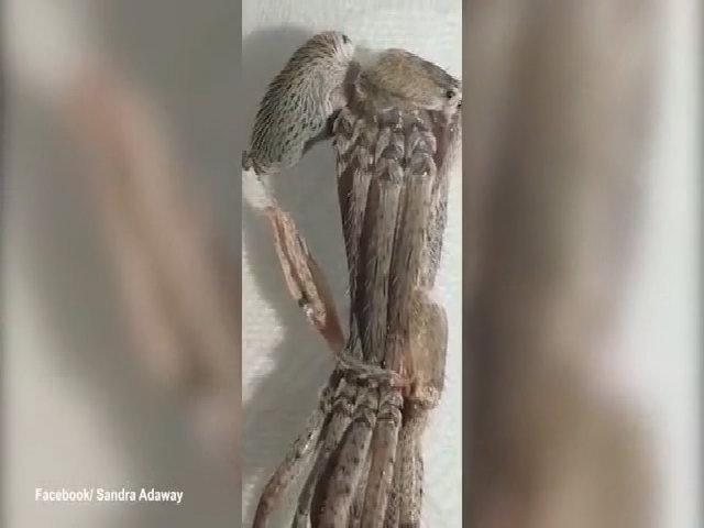 Cuộc lột xác khó nhọc của nhện thợ săn
