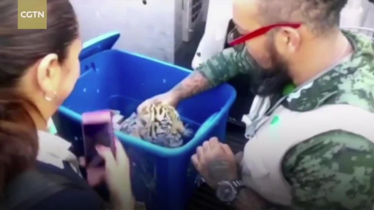 Chó nghiệp vụ giải cứu hổ con được chuyển phát nhanh