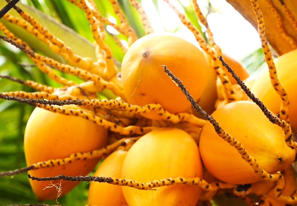 Vườn dừa hai màu vàng - cam thu hút khách dịp Tết