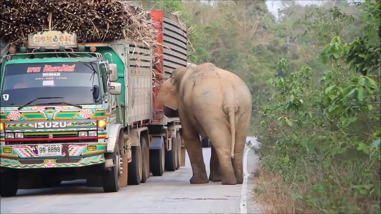 Voi ngang nhiên chặn đường xe tải cướp mía