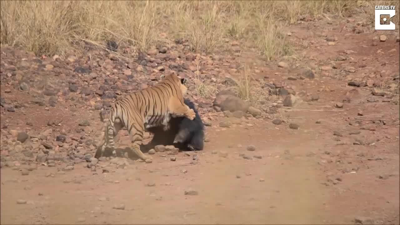 Hổ trả giá đắt khi cả gan tấn công gấu lợn