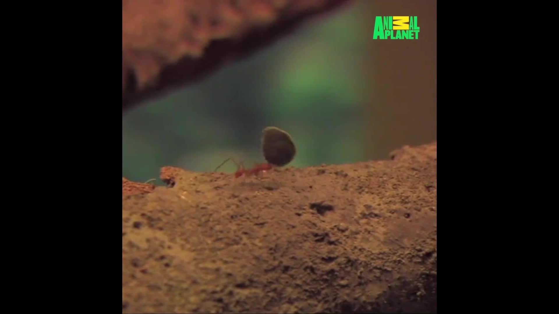 Loài kiến chuyên sử dụng lá cây để trồng nấm