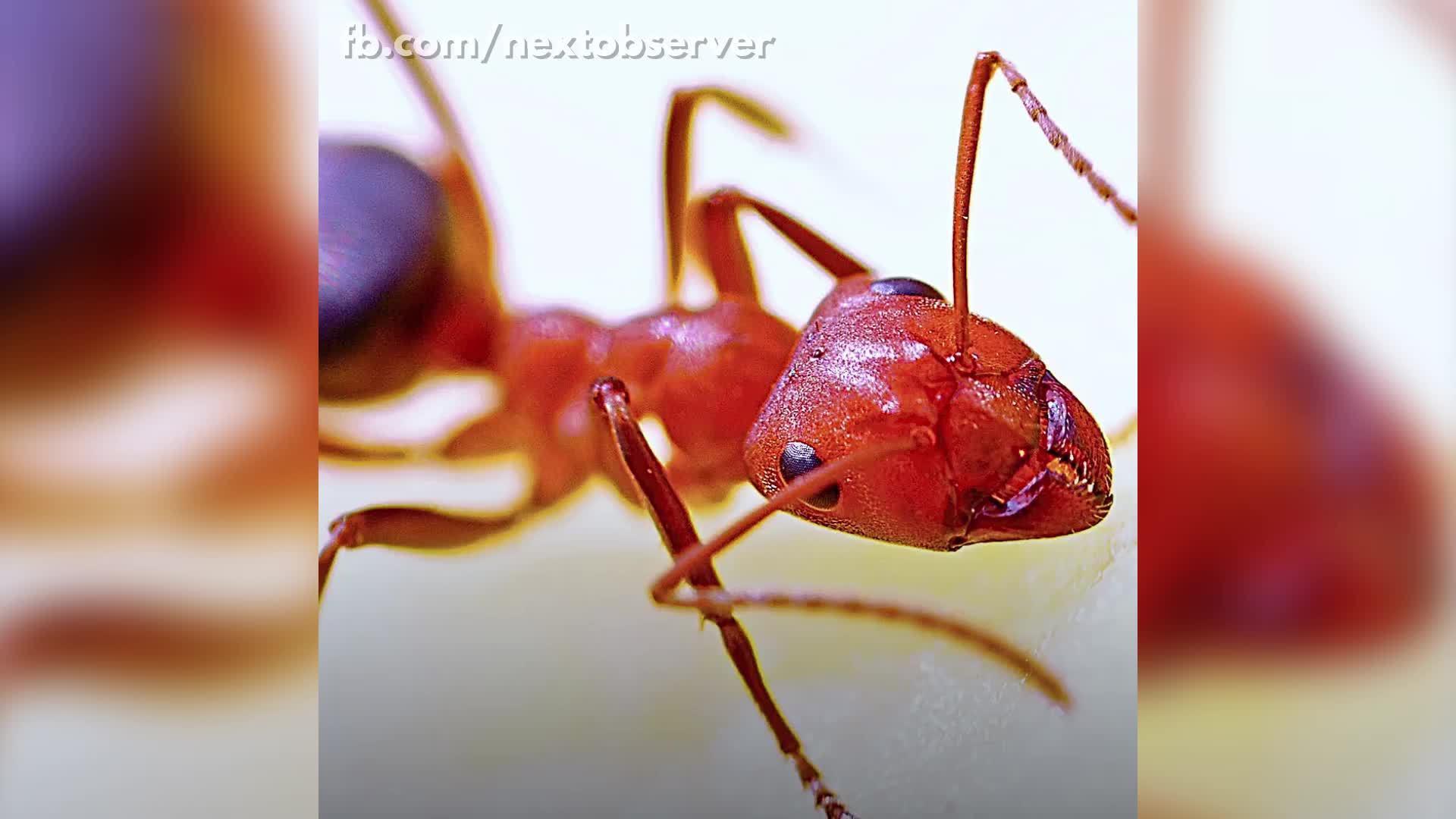 Loài kiến chuyên cướp trứng của đồng loại về nuôi làm 'nô lệ'