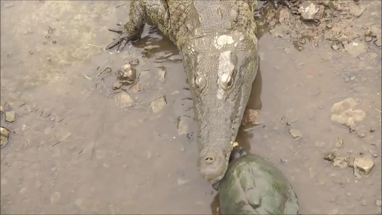 Rùa tranh thức ăn ngay trước hàm cá sấu