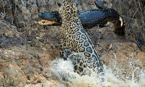 Báo đốm Mặt sẹo đoạt mạng cá sấu trên sông Brazil
