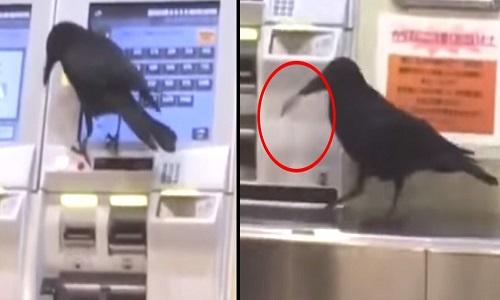 Quạ trộm thẻ tín dụng, tìm cách mua vé tàu