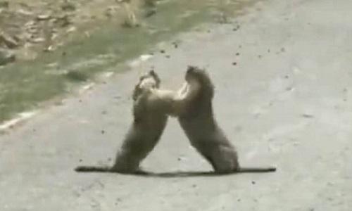 Sóc đất marmot kịch chiến giành bạn tình giữa đường