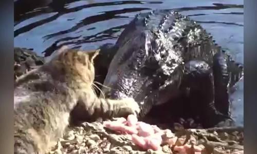 Cá sấu Mỹ 'bỏ của chạy lấy người' khi bị mèo tấn công