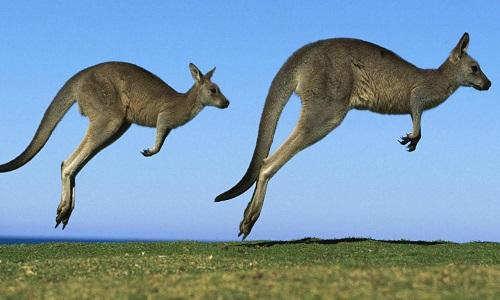 Cấu tạo cơ thể giúp kangaroo nhảy liên tục gần 100 km/h