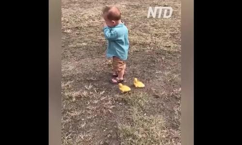 Cậu bé bỏ chạy khi bị 2 vịt con nhận 'làm mẹ' đuổi theo