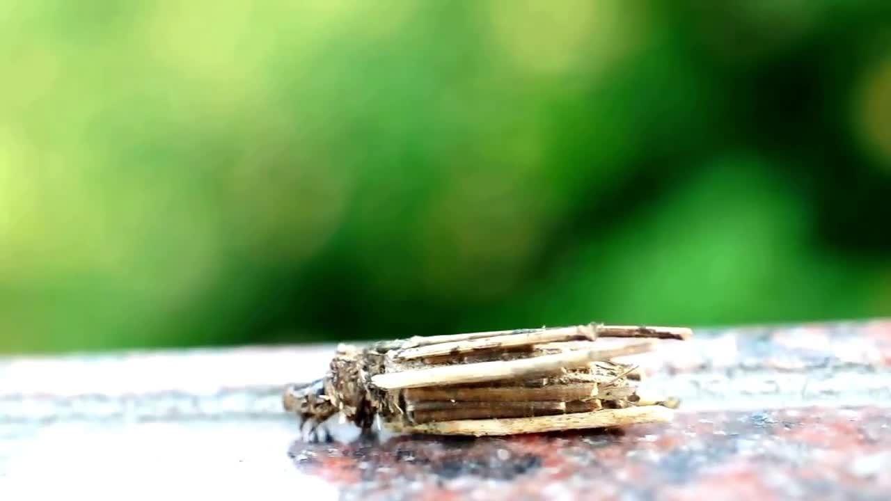 Loài sâu bướm kiếm cành cây xây vỏ bọc ngụy trang