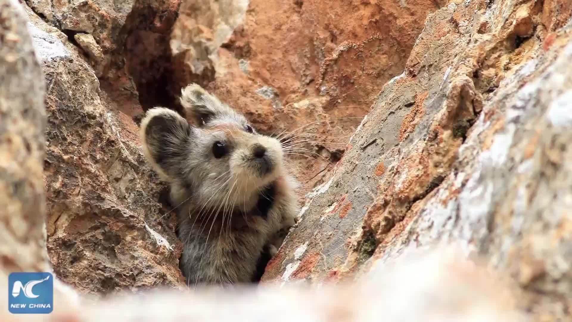 Lần đầu tiên phát hiện loài thỏ ma thuật bằng camera HD