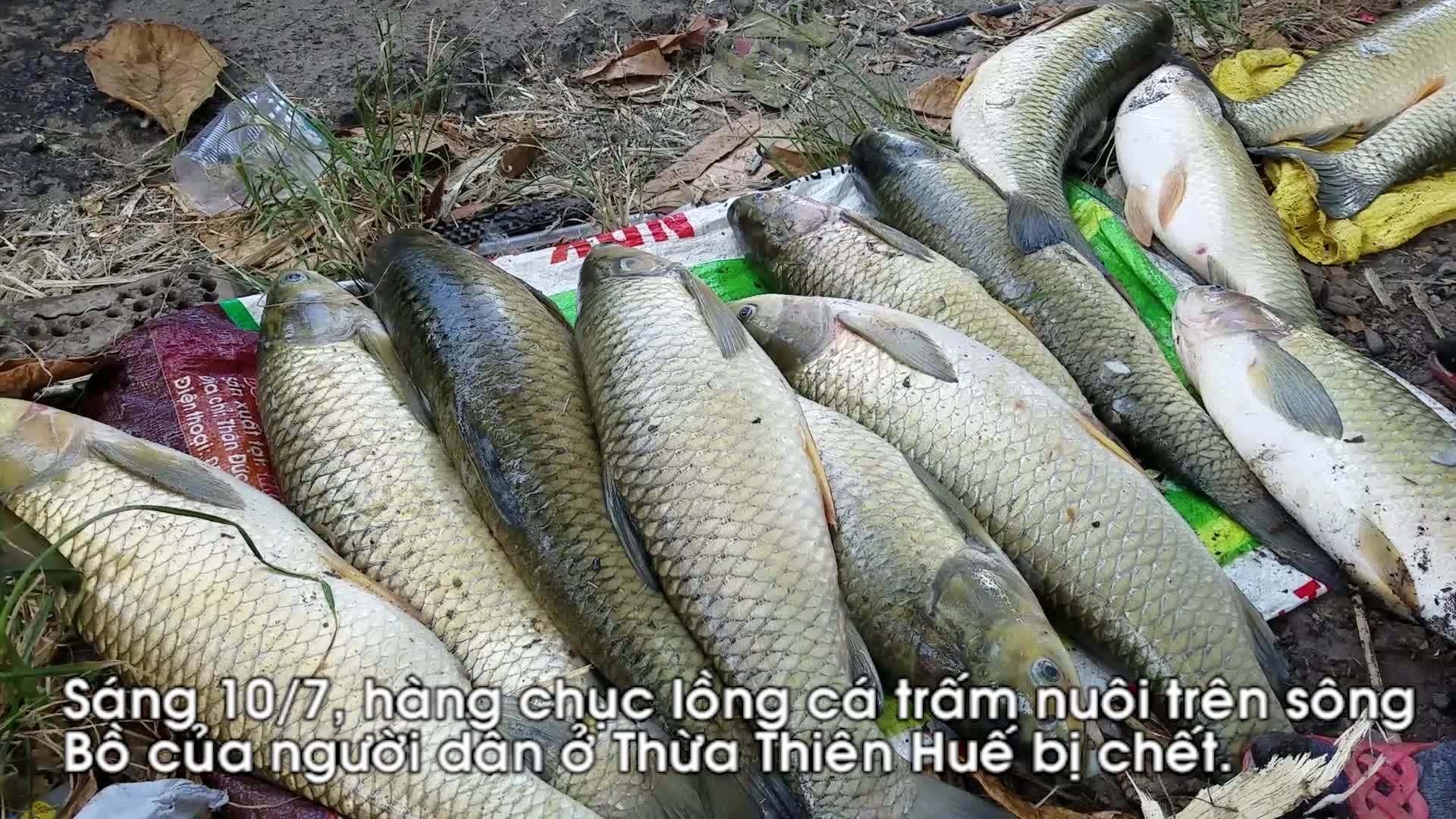 Hơn 154 tấn cá trắm nuôi lồng trên sông Bồ bị chết