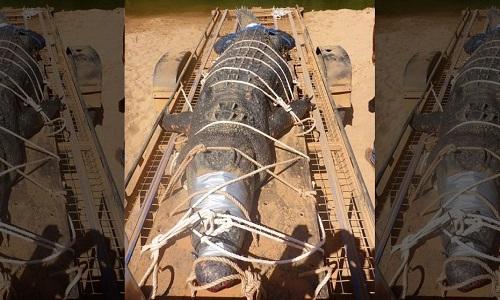 Những yếu tố giúp cá sấu nước mặn Australia siêu lớn