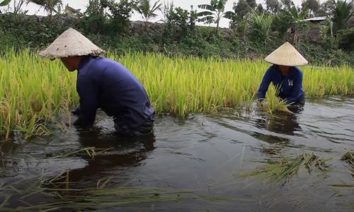 Nông dân Đồng Tháp Mười gặt lúa chạy lũ