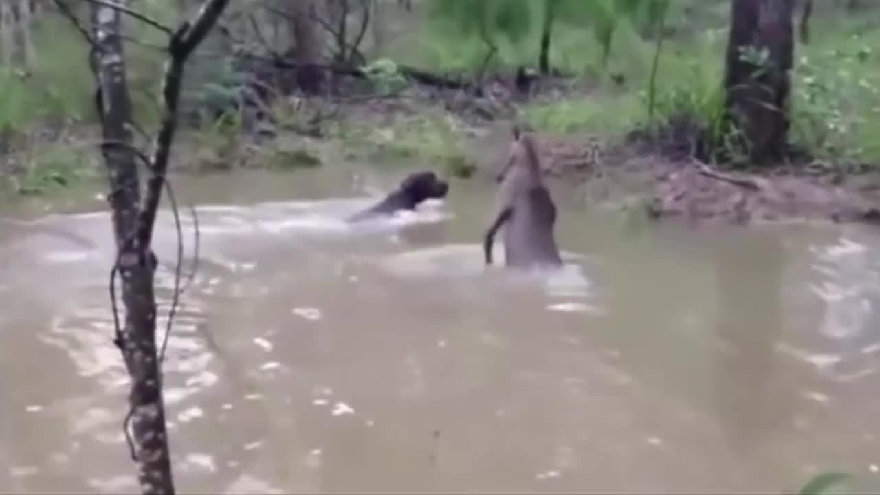 Kangaroo dạy cho đàn chó săn bài học nhớ đời