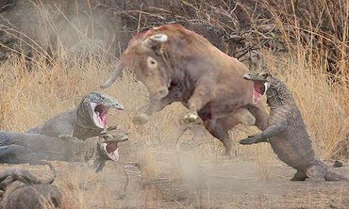 Vũ khí giúp rồng Komodo hạ gục trâu đực nặng gấp bốn lần