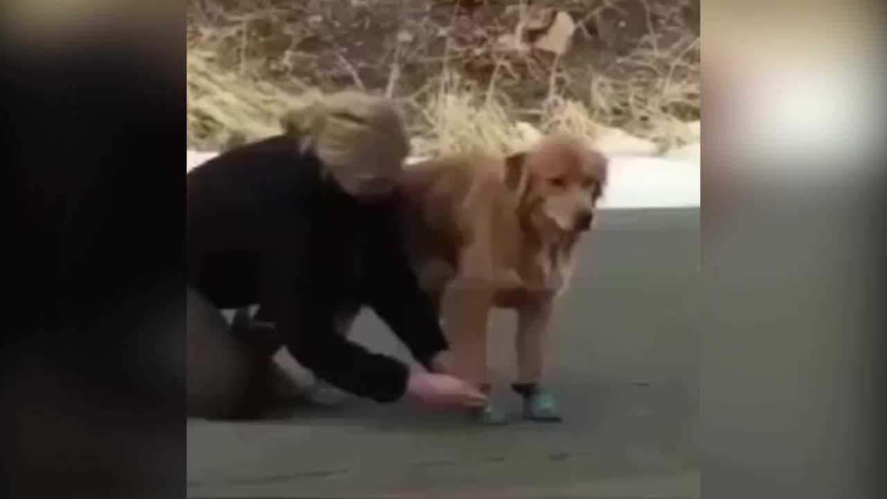 Thú cưng bối rối khi lần đầu được đi giày