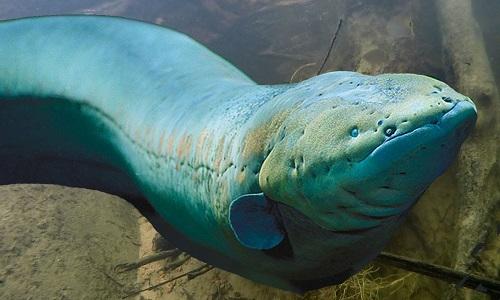 Khả năng đoạt mạng con mồi bằng một cú giật của lươn điện