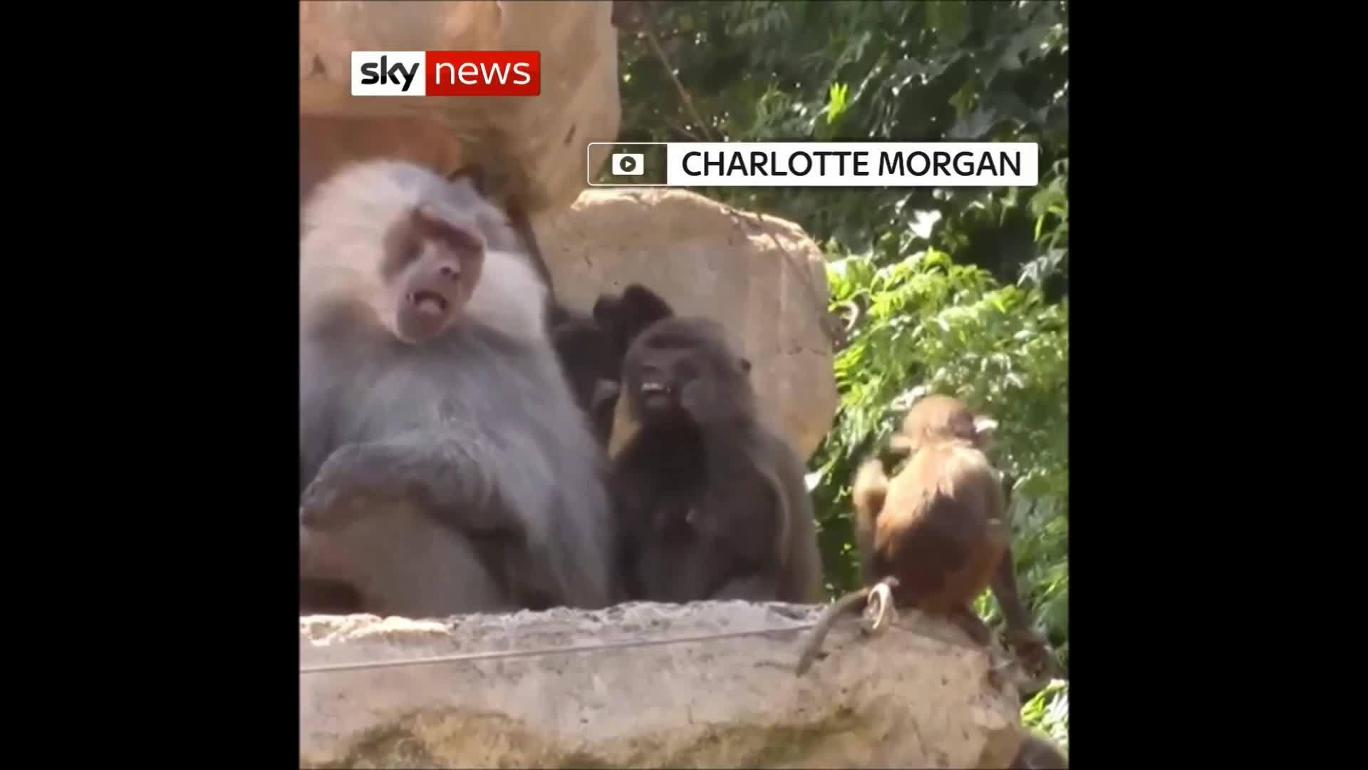 Khỉ đầu chó dùng lông xỉa răng trong vườn thú Anh