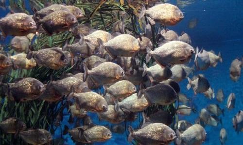 Tốc độ diệt mồi chớp nhoáng của cá ăn thịt piranha