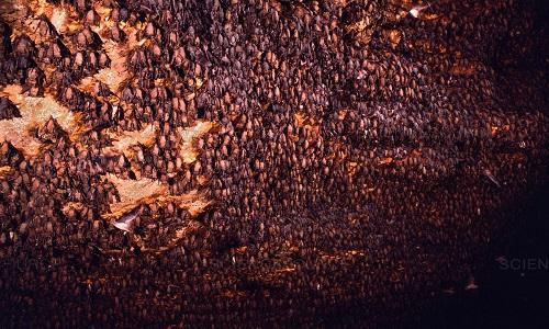 Chiến thuật săn mồi của diều hâu ở hang động 20 triệu con dơi