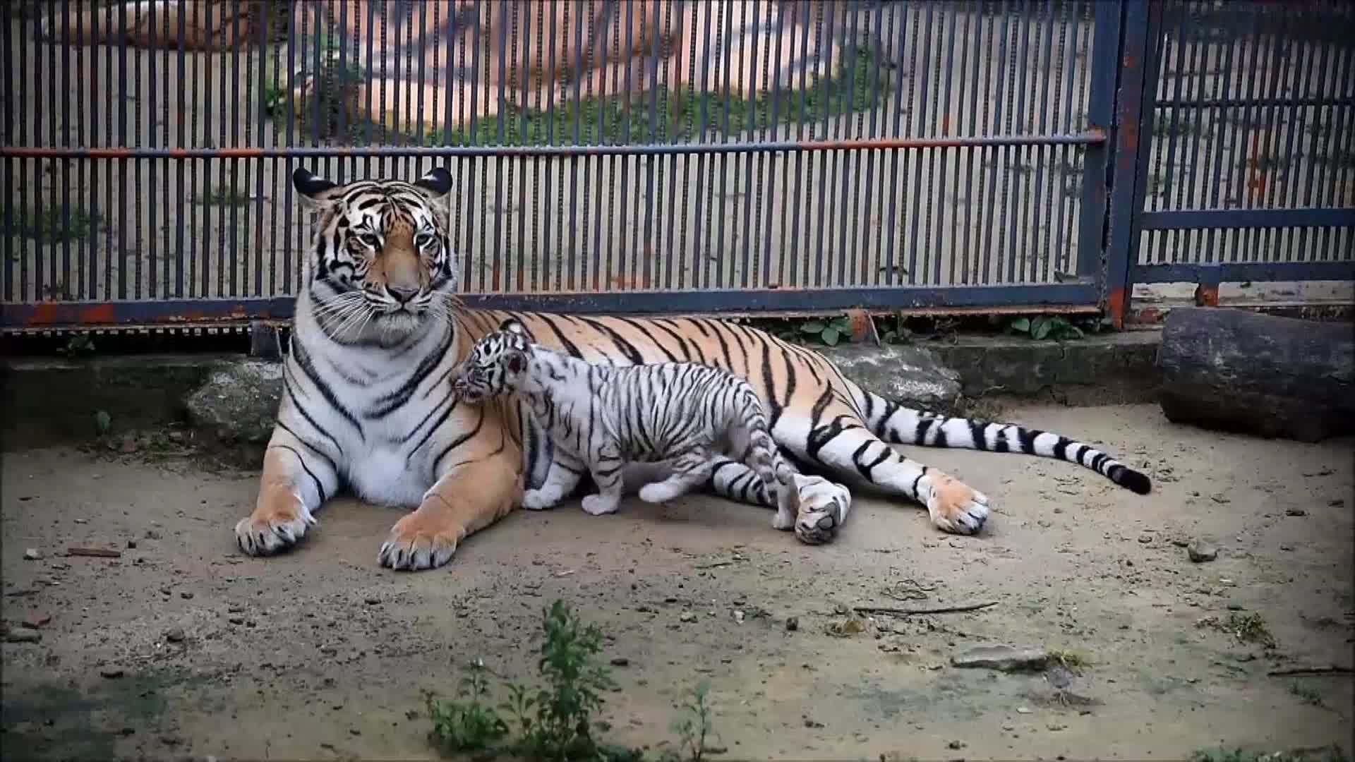 Hổ con bạch tạng đầu tiên chào đời tại vườn thú Bangladesh