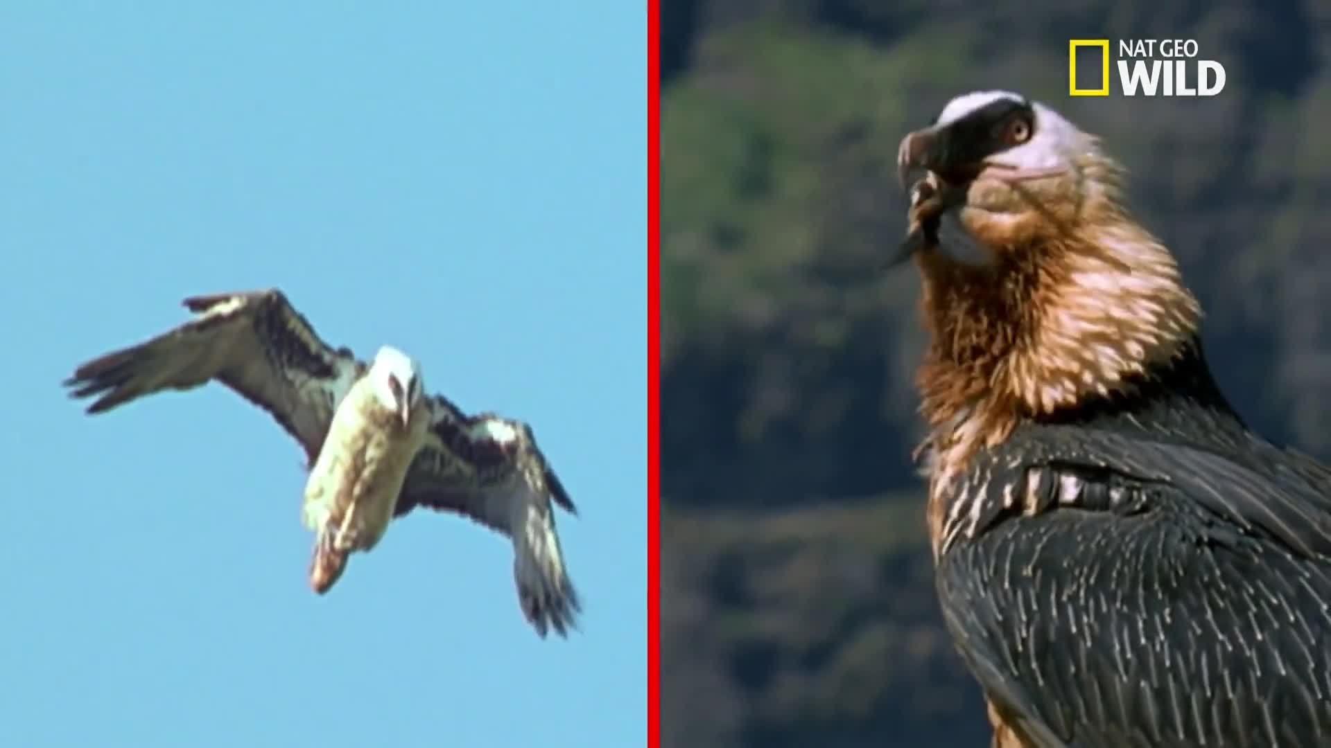 Loài chim duy nhất biết cách đập vỡ xương động vật để ăn tủy