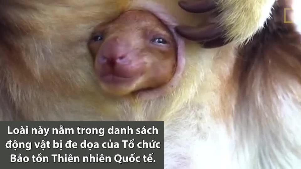 Chuột túi con lần đầu ló mặt ra từ bụng mẹ