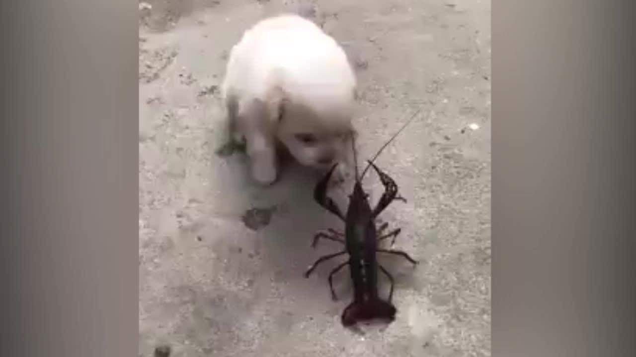 Cún cưng kêu cứu vì trúng đòn của tôm