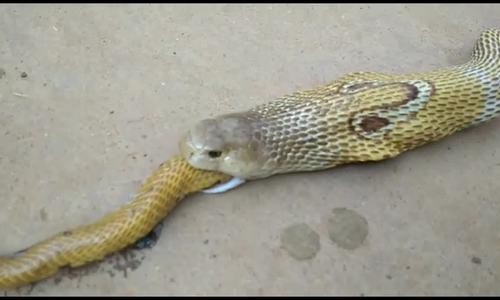 Hổ mang dài 1,5 mét gồng mình nôn ra rắn nhỏ