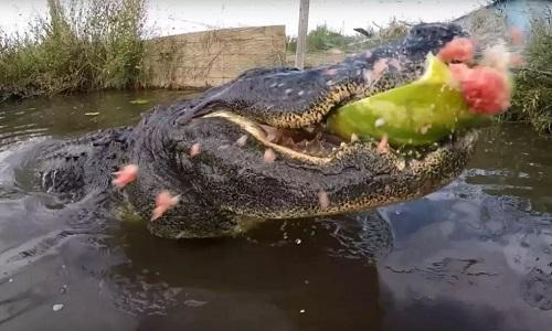 Lực cắn mạnh nhất hành tinh của cá sấu