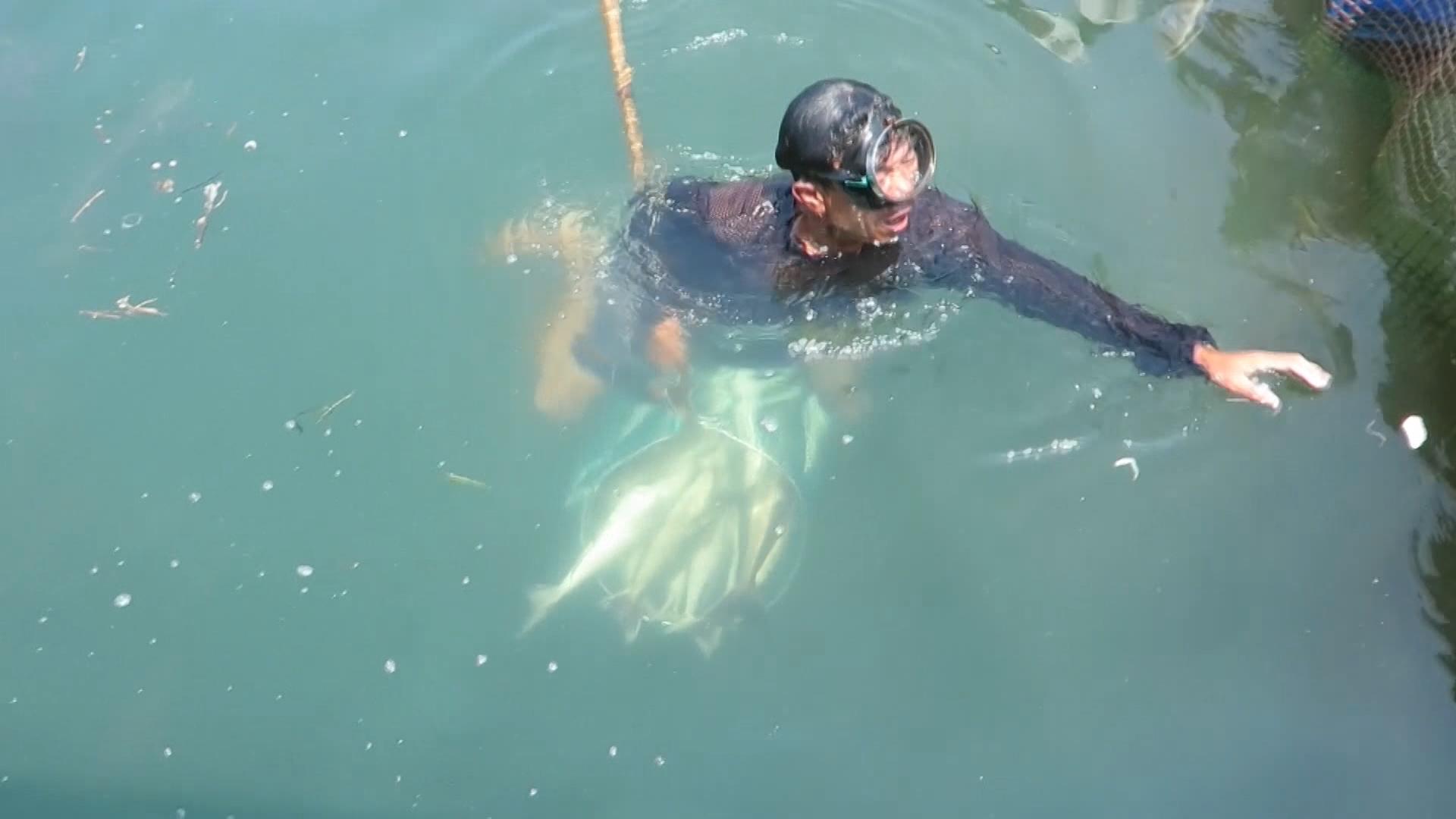 Cá chết hàng loạt tại Quảng Ngãi gây thiệt hại cho nông dân