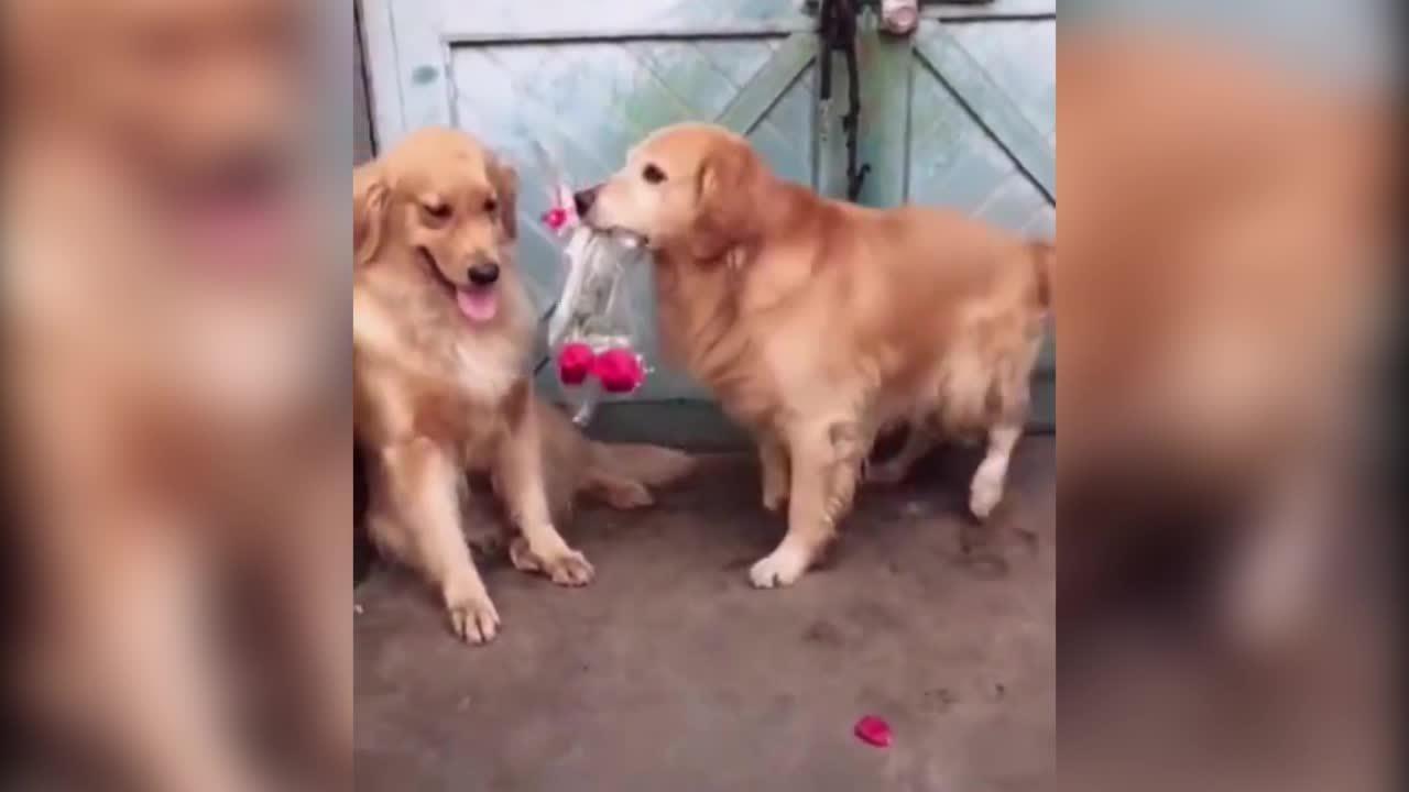 Chú chó dùng hoa 'hạ gục' bạn đời