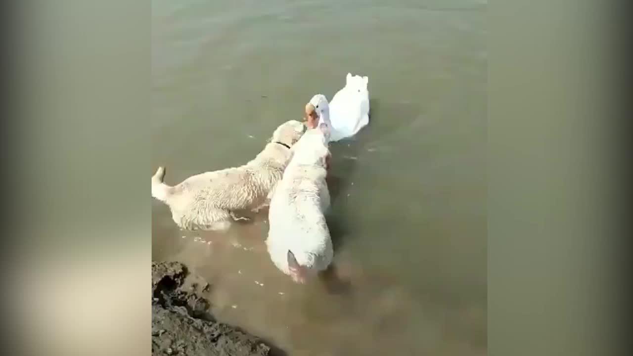 Hai chú cún họp sức 'cứu' thiên nga đuối nước