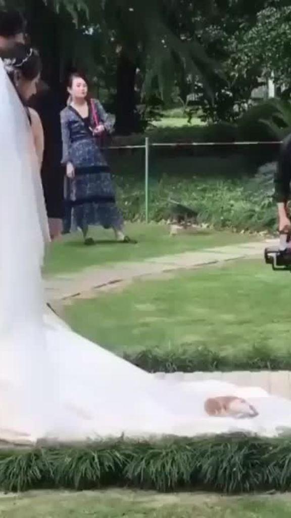 Mèo bám váy cô dâu để tham dự đám cưới