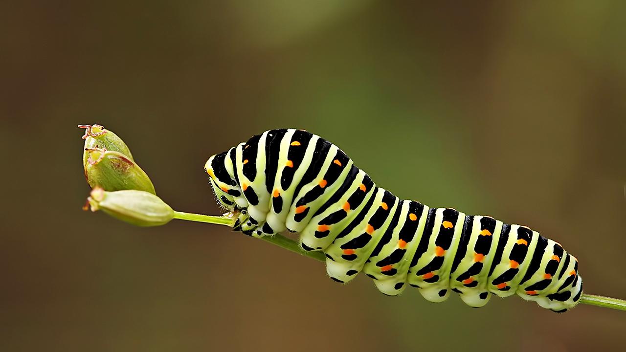 Kỹ năng sinh tồn giúp sâu bướm sống sót qua mùa lá rụng