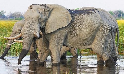 Vì sao voi châu Phi có lớp da nhăn nheo?