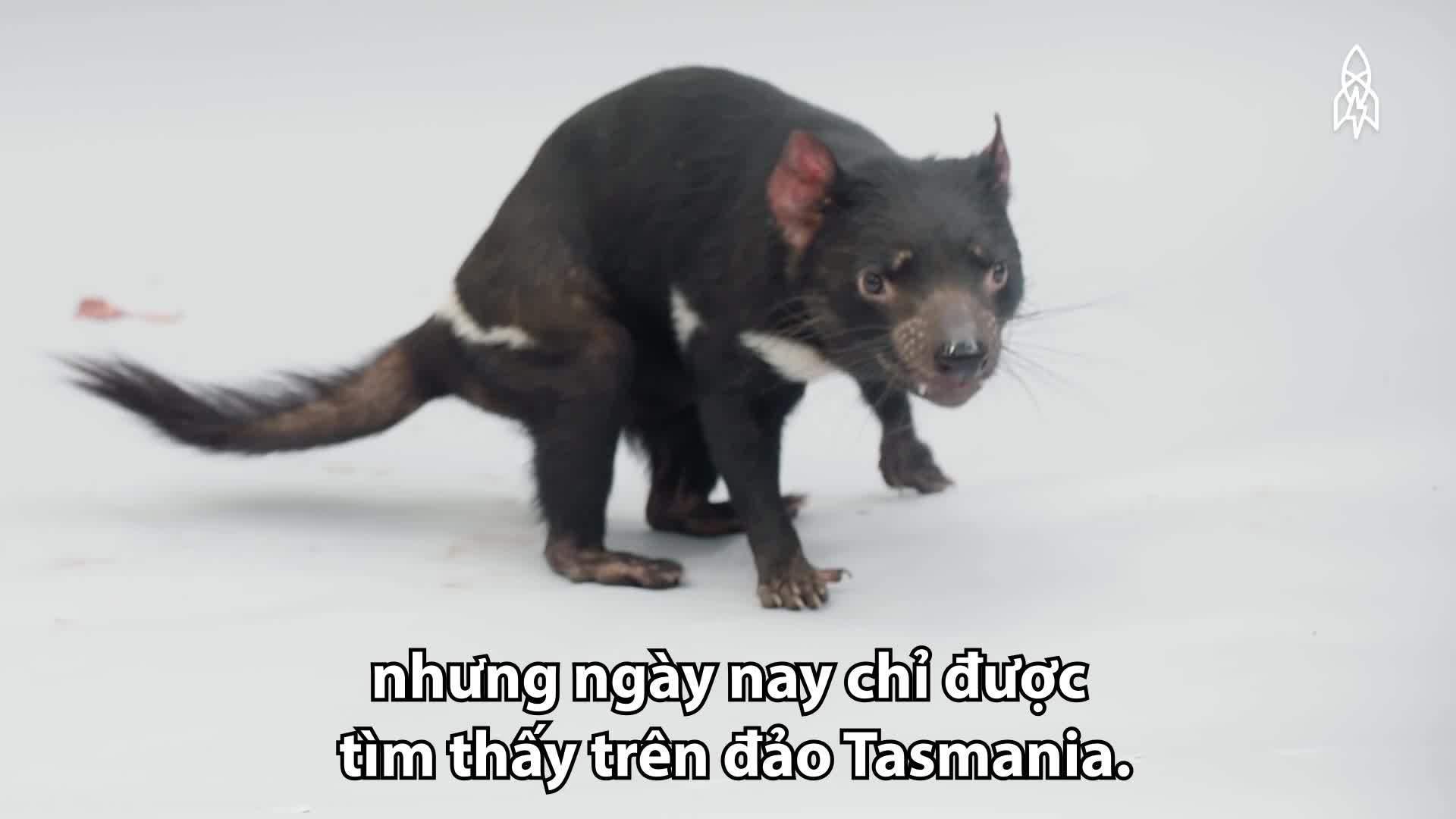 Quỷ Tasmania